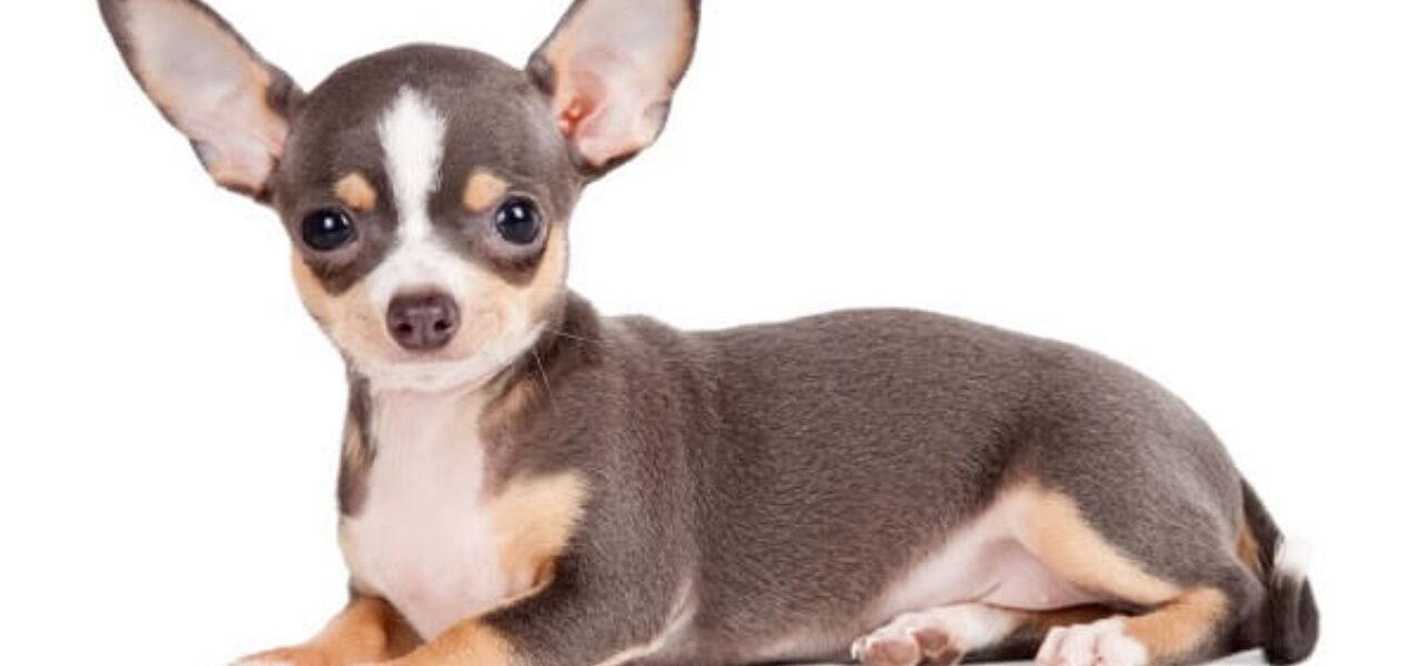 historia del perro chihuahua